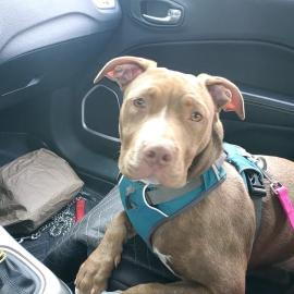 Maggie the dog riding in the car after adoption
