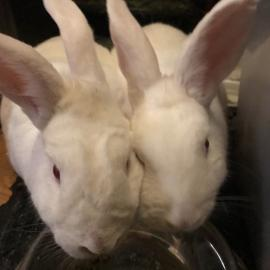 Skadi and Ullr, two white rabbits