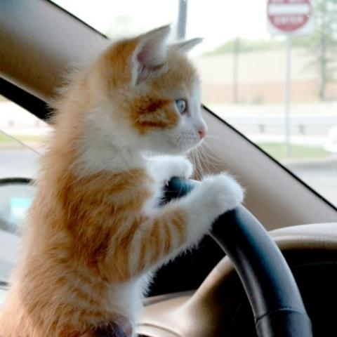 Kitten looking over the steering wheel of a car