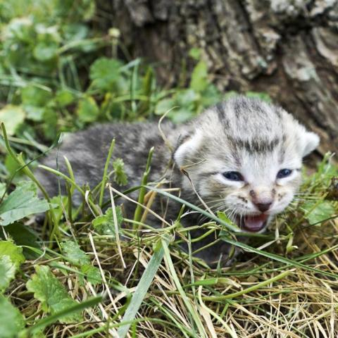 A kitten meowing in the brush